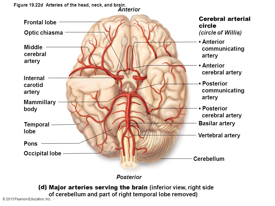 Major arteries serving the brain (inferior view, right side