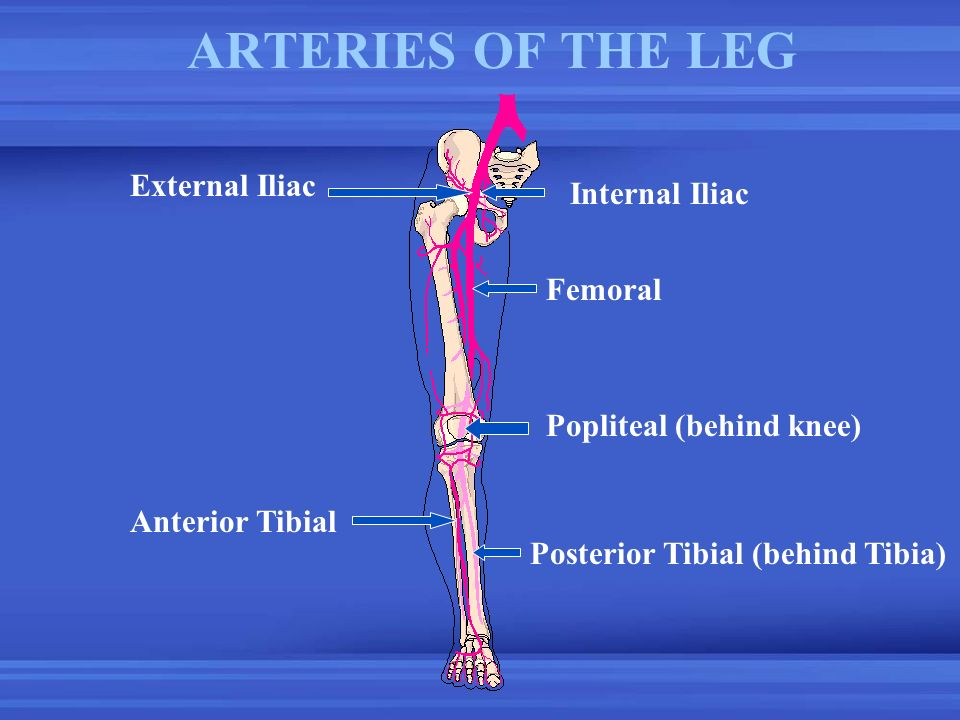 ARTERIES OF THE LEG External Iliac Internal Iliac Femoral