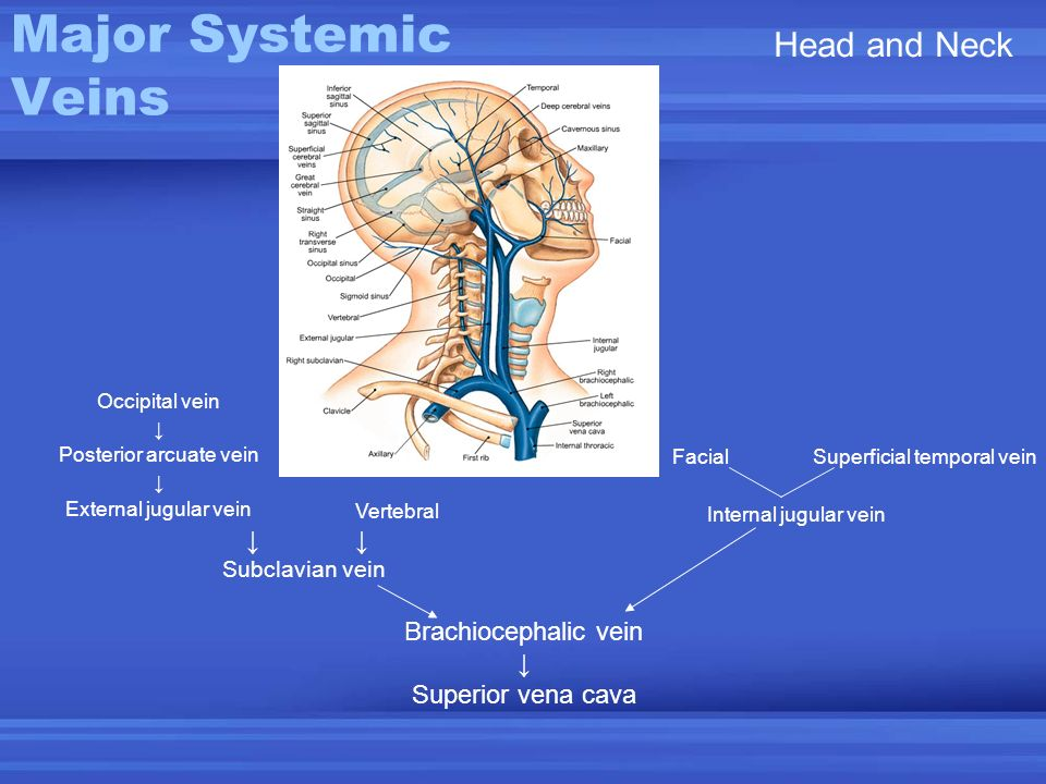Major Systemic Veins Head and Neck Brachiocephalic vein