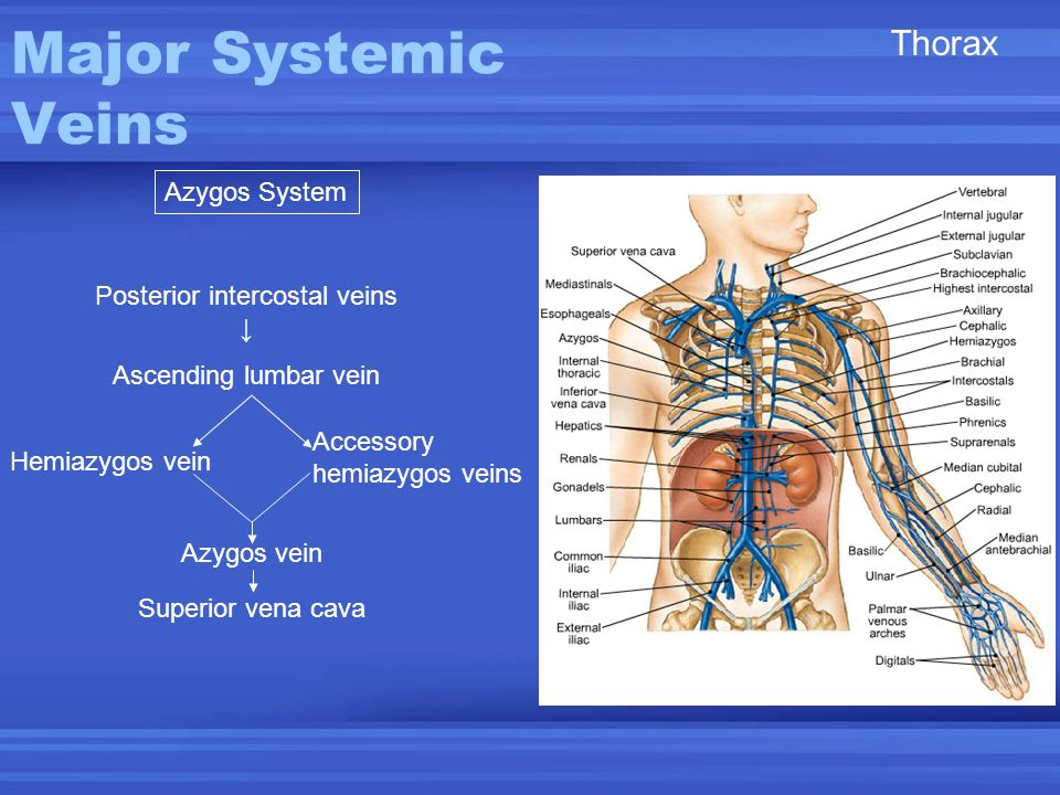 Posterior intercostal veins