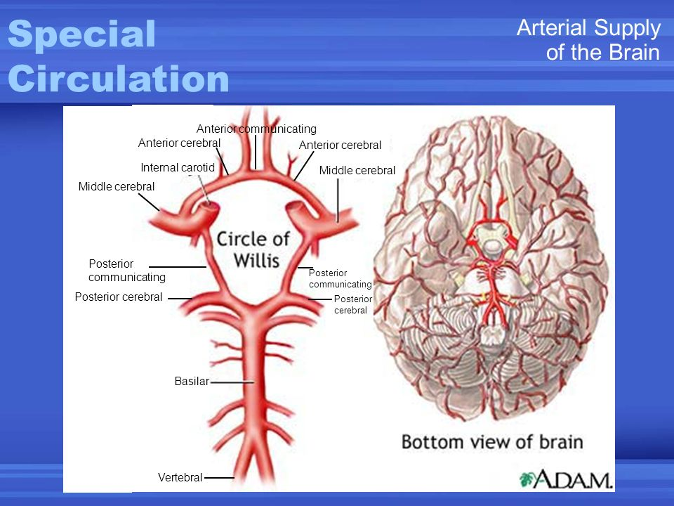 Special Circulation Arterial Supply of the Brain