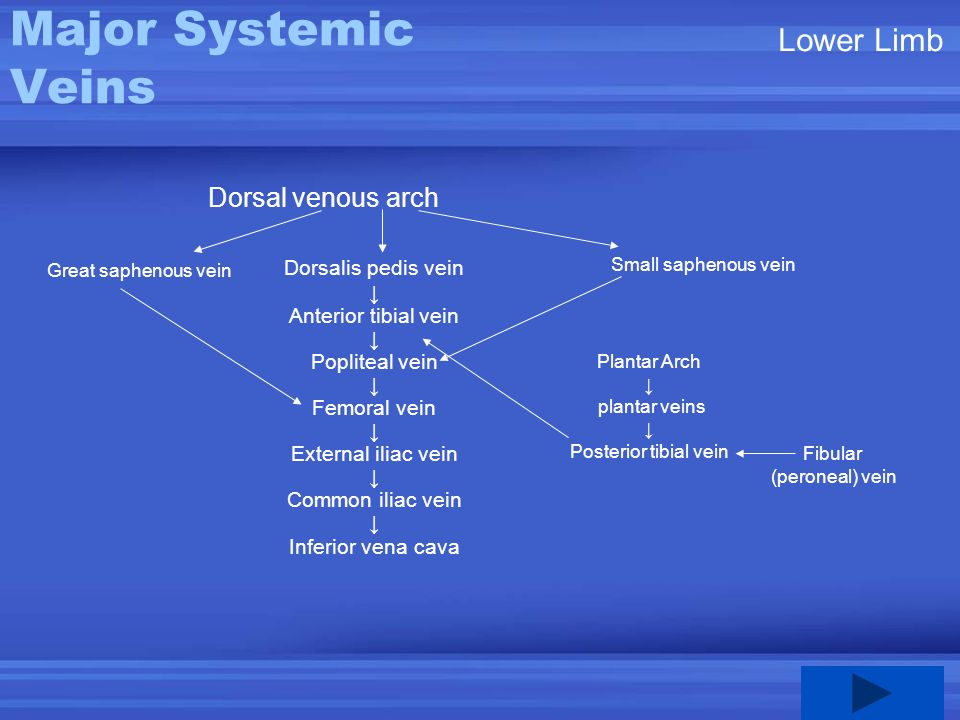 Major Systemic Veins Lower Limb Dorsal venous arch Dorsalis pedis vein