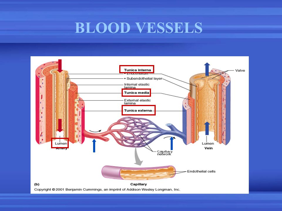 BLOOD VESSELS Arterioles Veinules