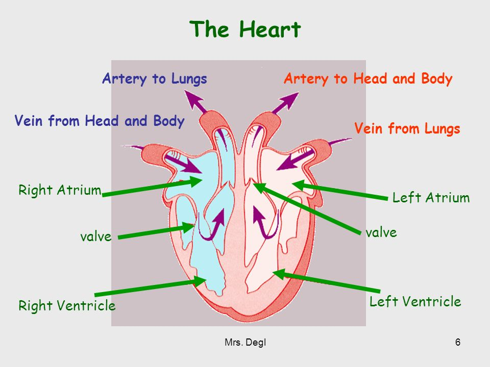 The Heart Artery to Lungs Artery to Head and Body