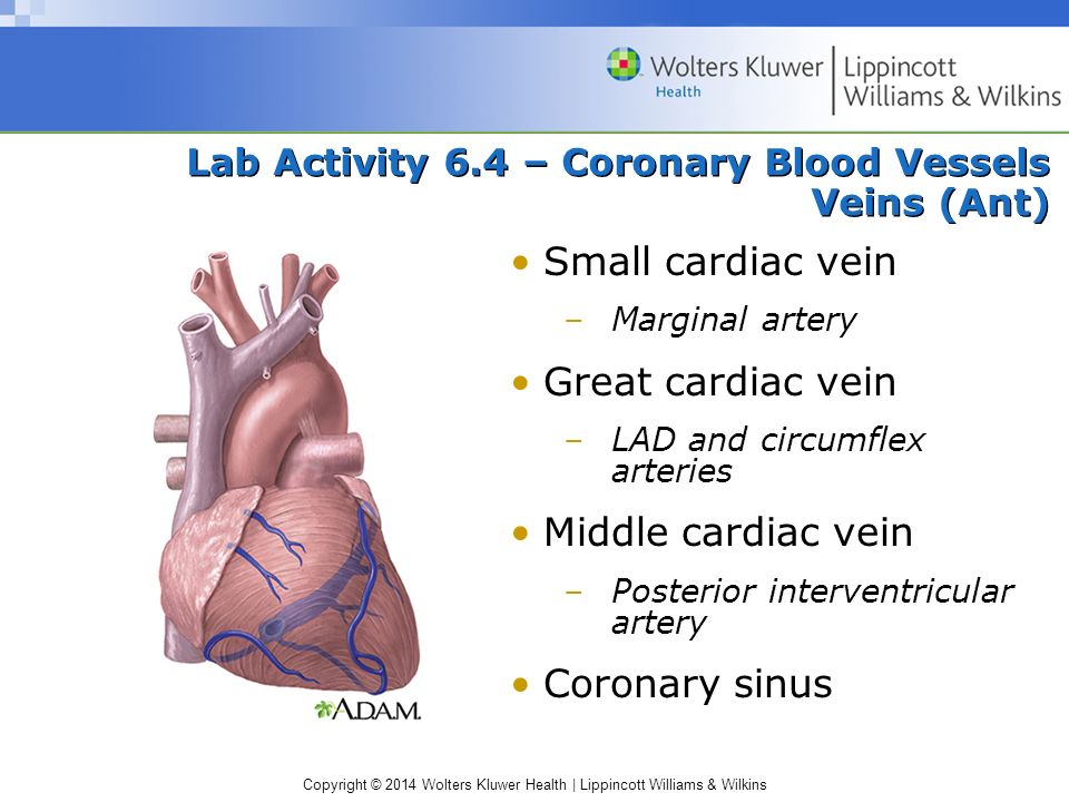 Lab Activity 6.4 – Coronary Blood Vessels Veins (Ant)