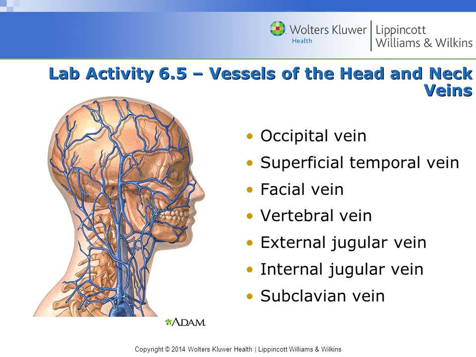 Lab Activity 6.5 – Vessels of the Head and Neck Veins