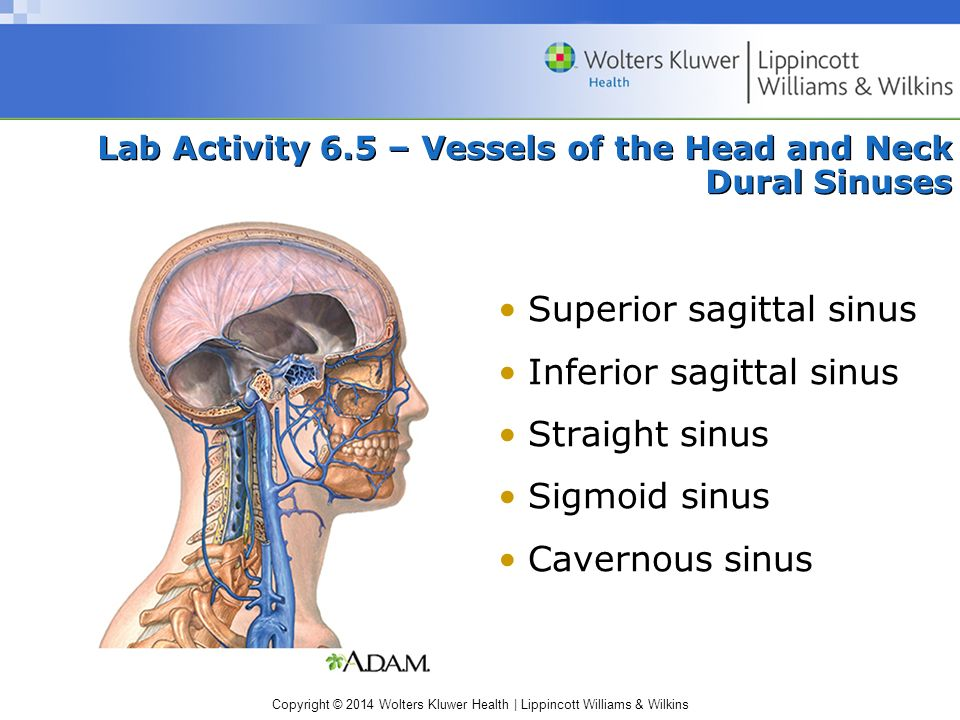 Lab Activity 6.5 – Vessels of the Head and Neck Dural Sinuses