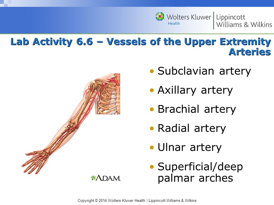 Lab Activity 6.6 – Vessels of the Upper Extremity Arteries