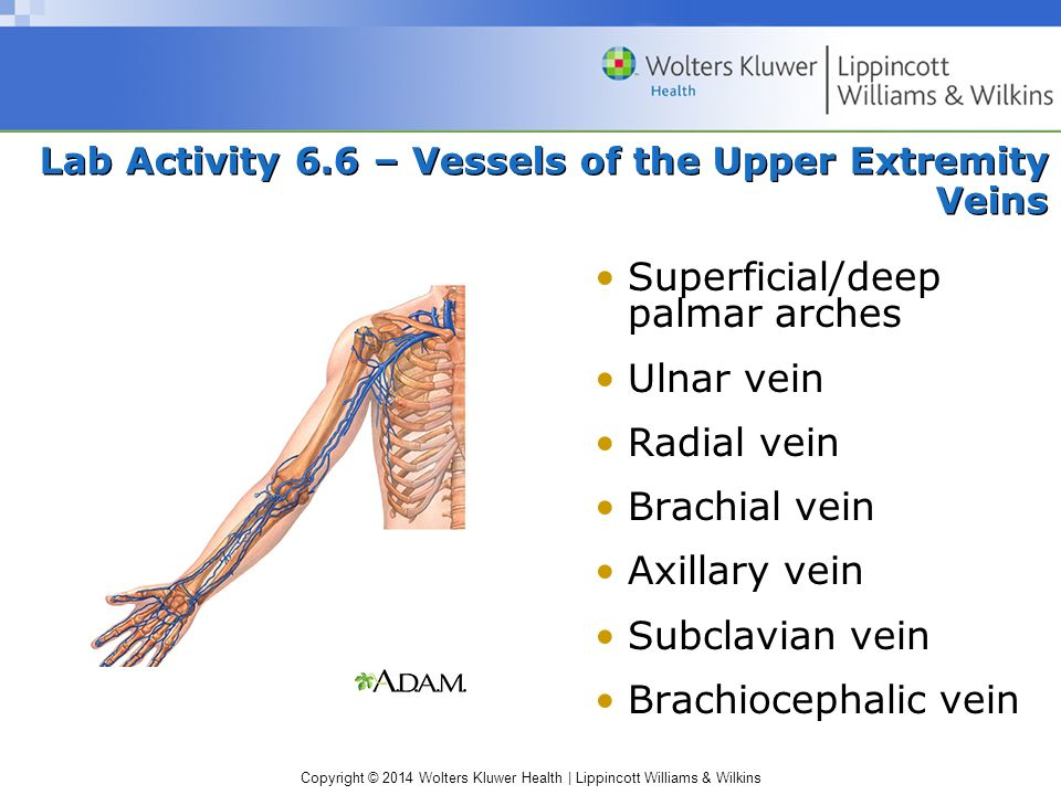 Lab Activity 6.6 – Vessels of the Upper Extremity Veins