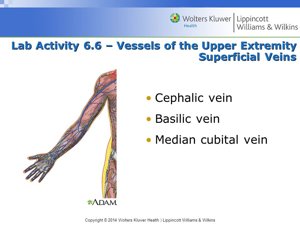 Lab Activity 6.6 – Vessels of the Upper Extremity Superficial Veins