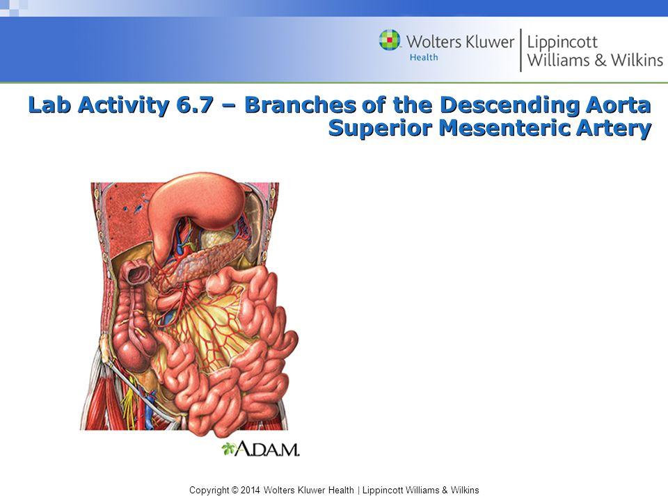 Lab Activity 6.7 – Branches of the Descending Aorta Superior Mesenteric Artery