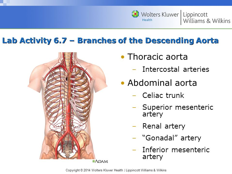 Lab Activity 6.7 – Branches of the Descending Aorta