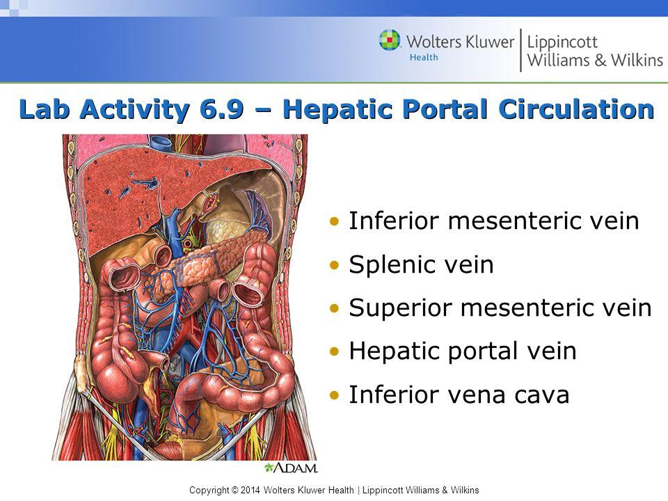 Lab Activity 6.9 – Hepatic Portal Circulation
