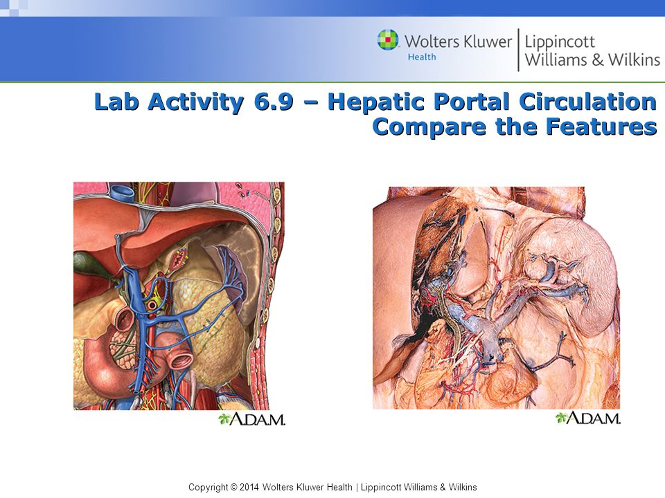 Lab Activity 6.9 – Hepatic Portal Circulation Compare the Features