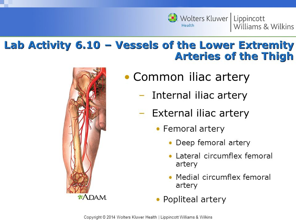 Lab Activity 6.10 – Vessels of the Lower Extremity Arteries of the Thigh