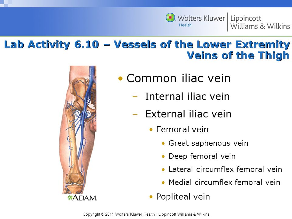 Lab Activity 6.10 – Vessels of the Lower Extremity Veins of the Thigh