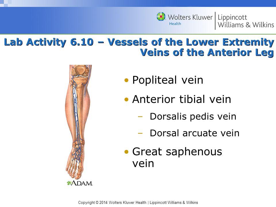 Popliteal vein Anterior tibial vein Great saphenous vein