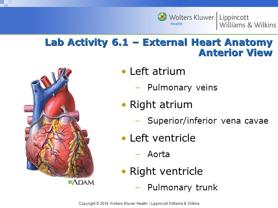 Lab Activity 6.1 – External Heart Anatomy Anterior View