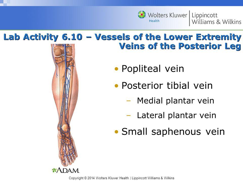 Popliteal vein Posterior tibial vein Small saphenous vein