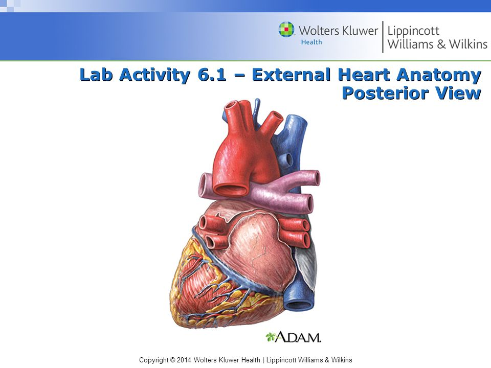 Lab Activity 6.1 – External Heart Anatomy Posterior View