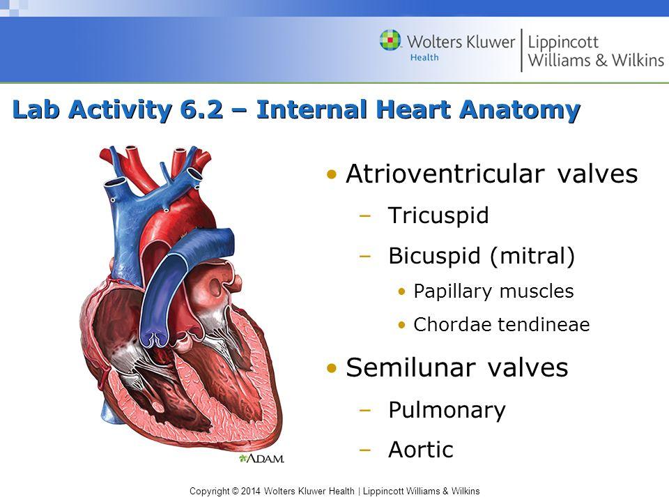 Lab Activity 6.2 – Internal Heart Anatomy