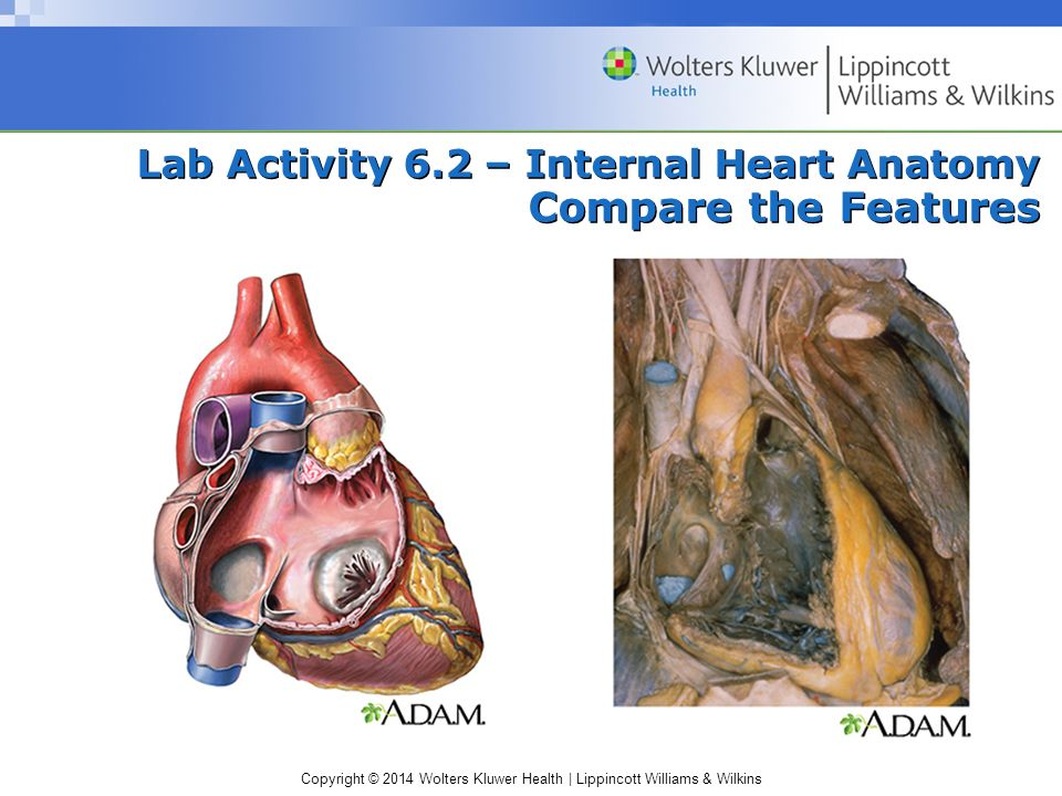 Lab Activity 6.2 – Internal Heart Anatomy Compare the Features