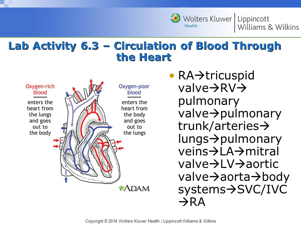 Lab Activity 6.3 – Circulation of Blood Through the Heart