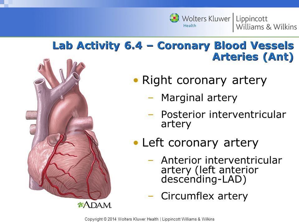 Lab Activity 6.4 – Coronary Blood Vessels Arteries (Ant)