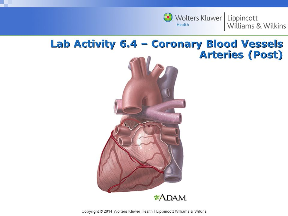 Lab Activity 6.4 – Coronary Blood Vessels Arteries (Post)