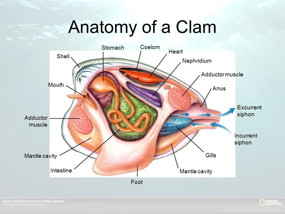 Human Mouth Anatomy Shells Wiring Data