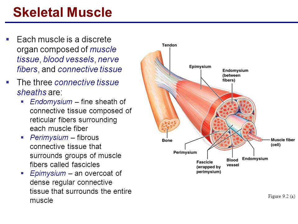 Lecture 14 Muscles. - ppt video online download