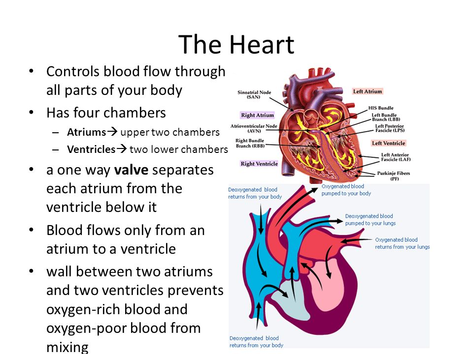 Circulatory system ppt video online download the heart controls blood flow through all parts of your body ccuart Image collections