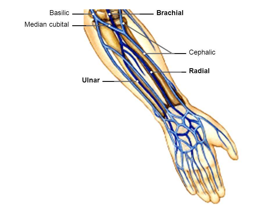 Basilic Brachial Median cubital Cephalic Radial Ulnar