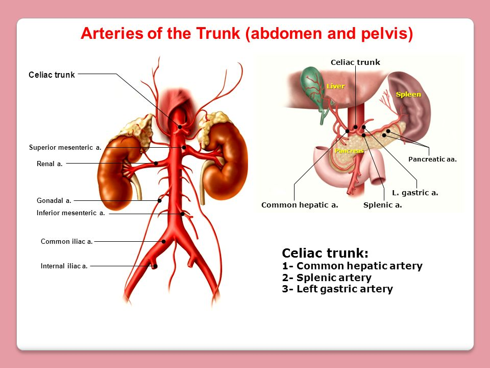 Arteries of the Trunk (abdomen and pelvis)