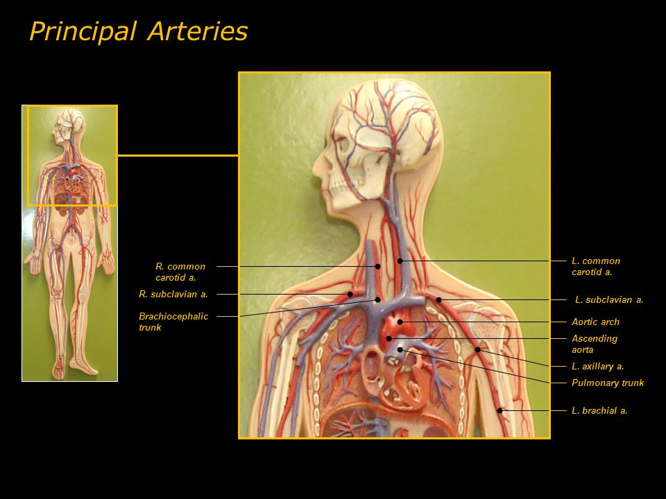 Principal Arteries L. common carotid a. R. common carotid a.
