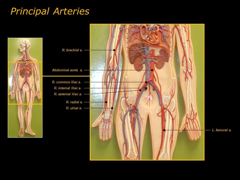 Principal Arteries R. brachial a. Abdominal aorta a.