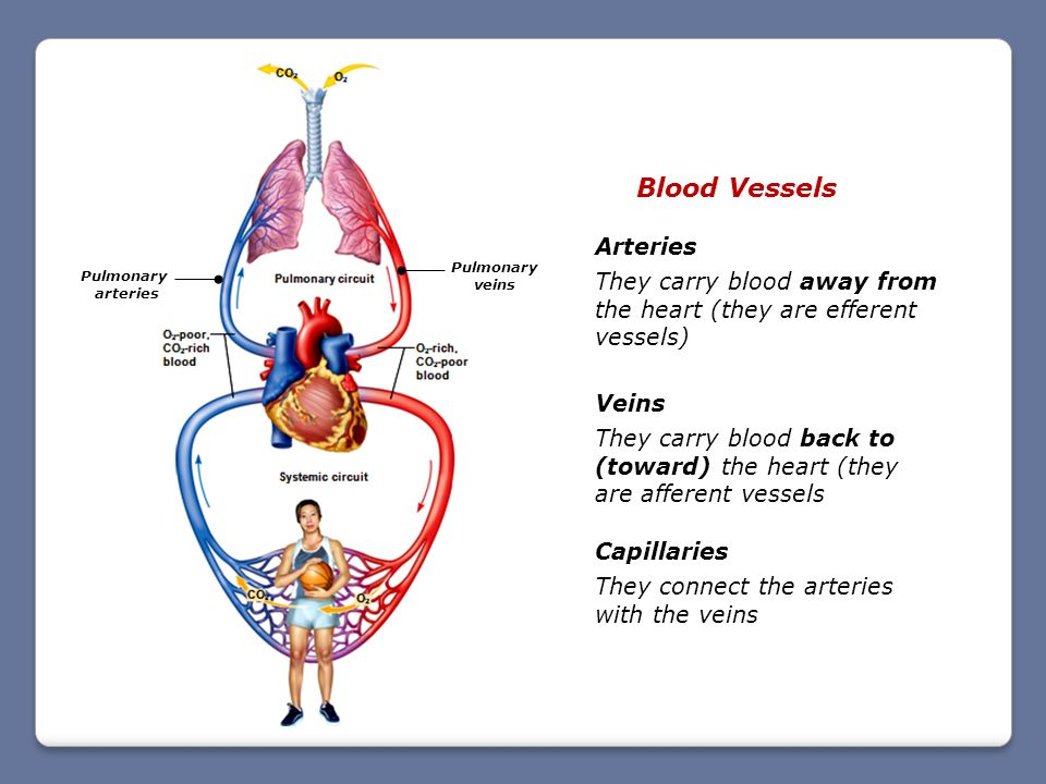 Blood Vessels Arteries