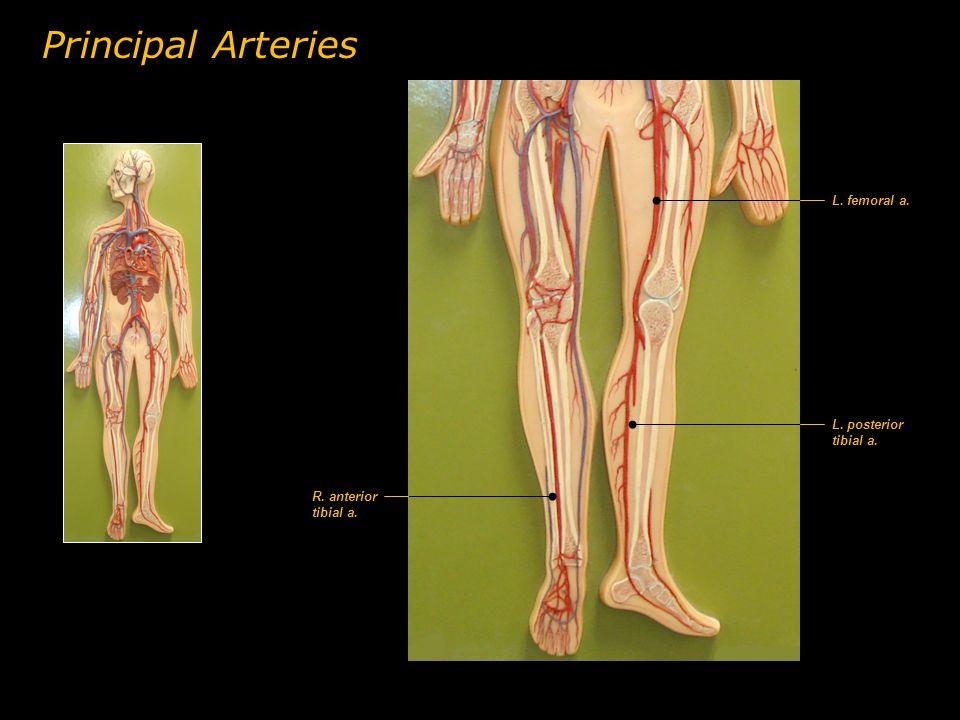 Principal Arteries L. femoral a. L. posterior tibial a.