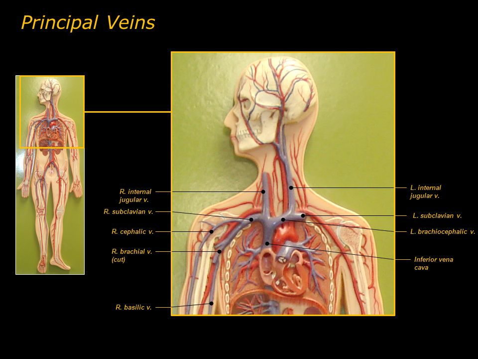 Principal Veins L. internal jugular v. R. internal jugular v.