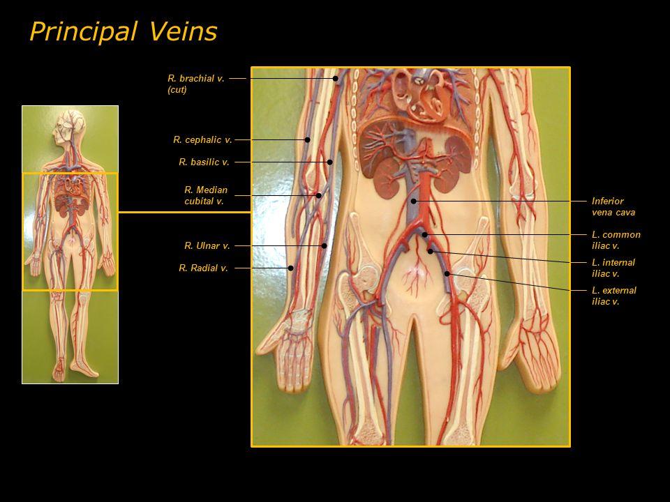 Principal Veins R. brachial v. (cut) R. cephalic v. R. basilic v.
