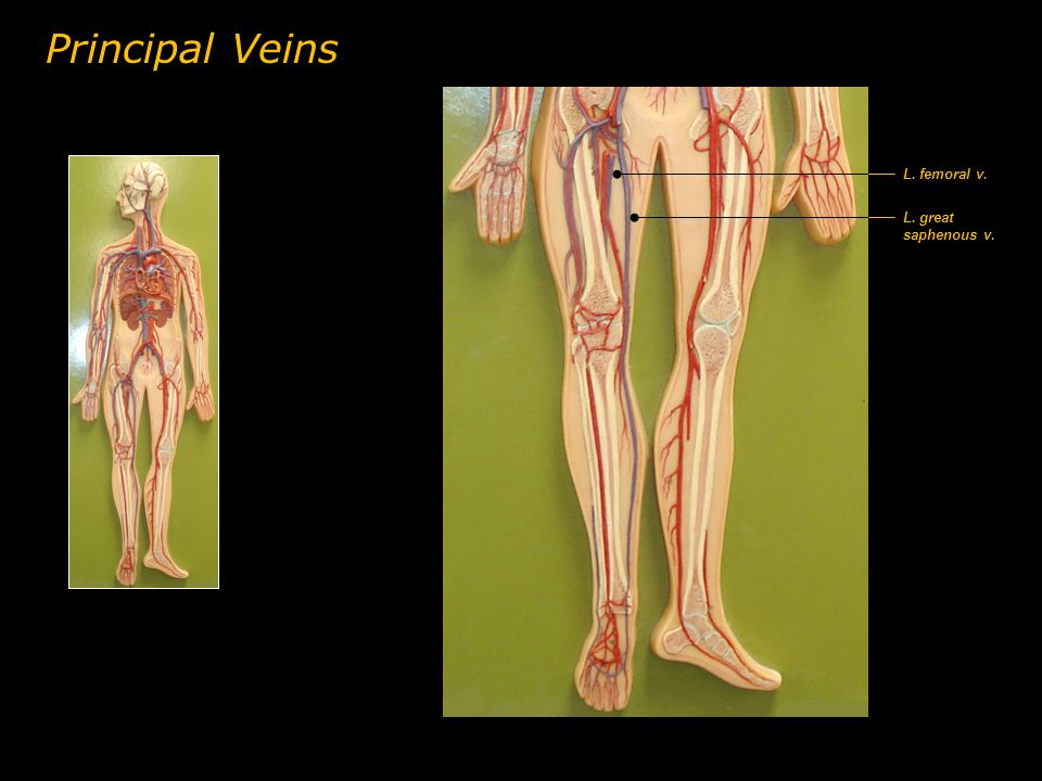 Principal Veins L. femoral v. L. great saphenous v.