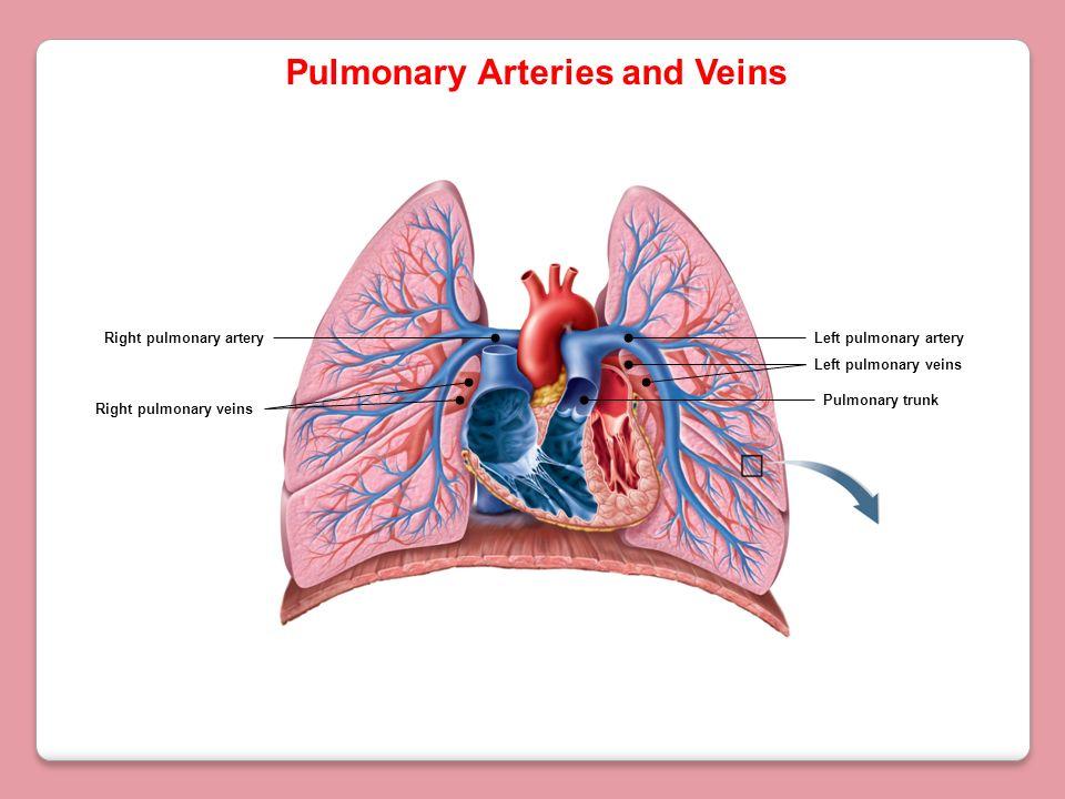 Pulmonary Arteries and Veins