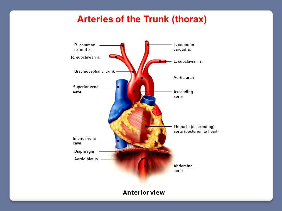 Arteries of the Trunk (thorax)