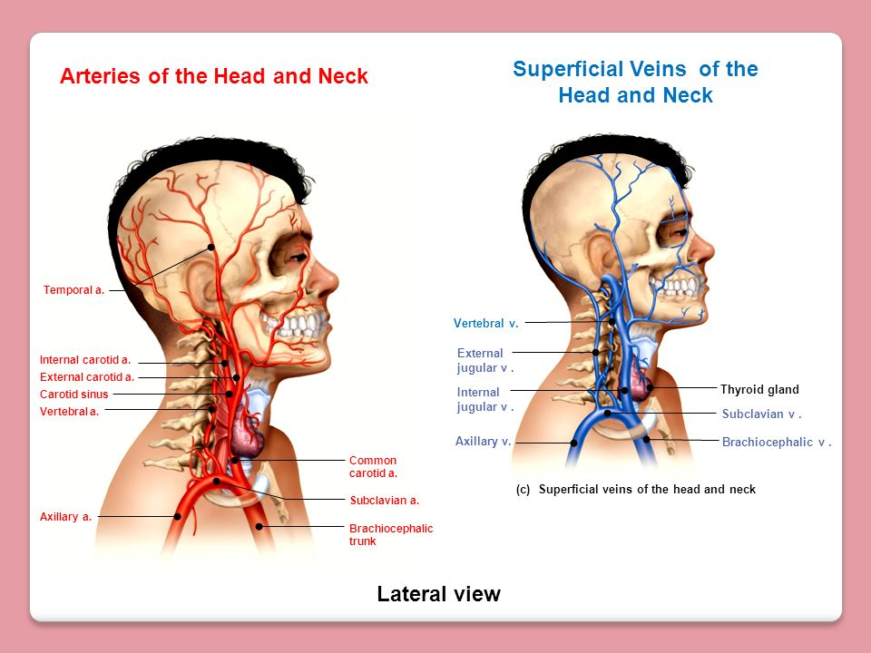 Superficial Veins of the Head and Neck