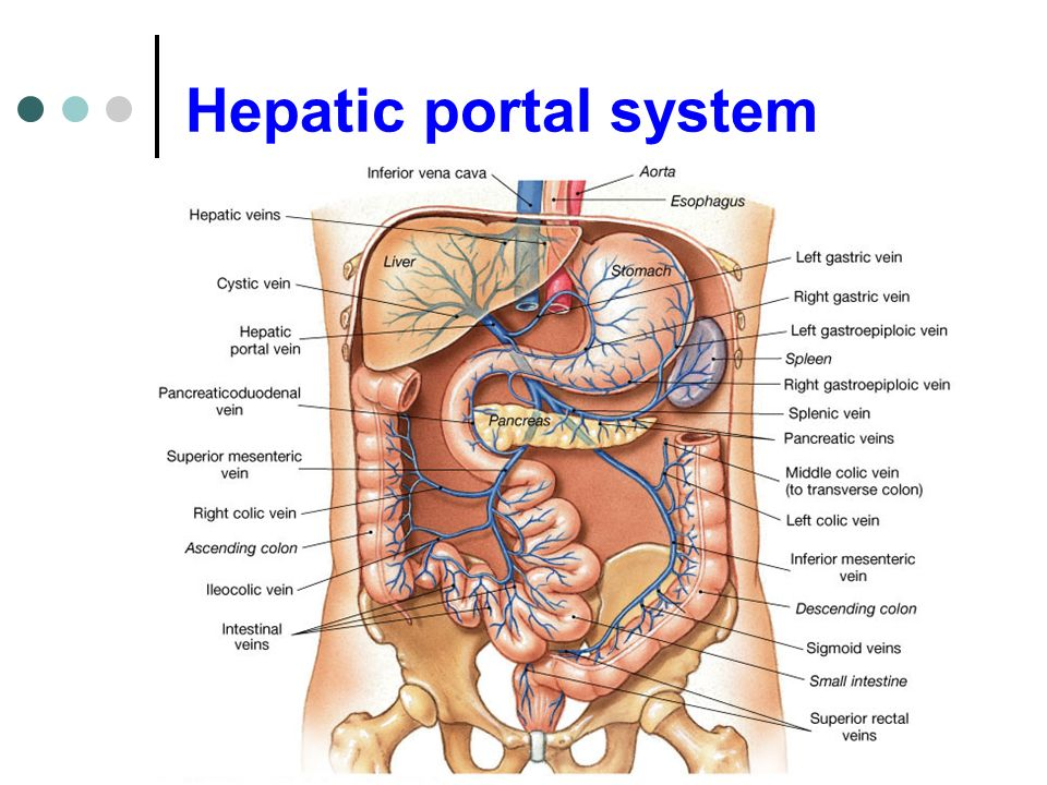 Perfecto Hepatic Portal Circulation Anatomy Foto Anatoma De Las