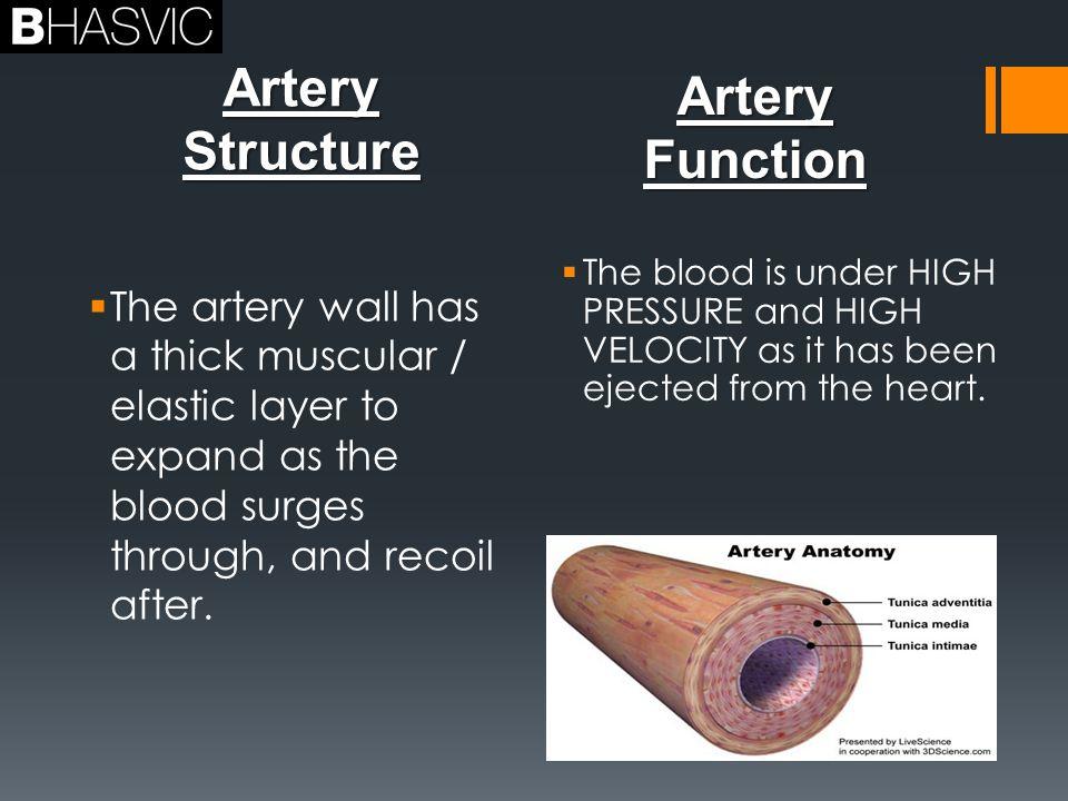 Vascular Shunt Anatomy Of The Arteries Veins And