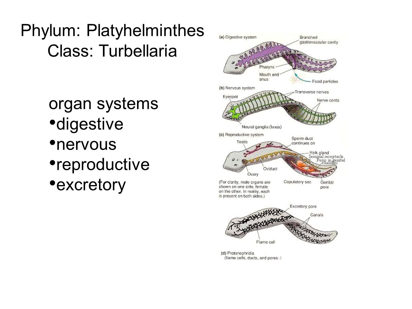 Phylum platyhelminthes ppt video online download phylum platyhelminthes pooptronica Images