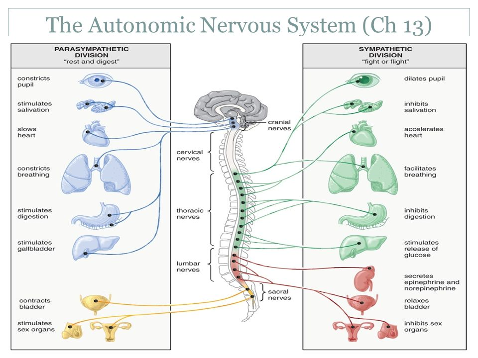 how the mind modulates the autonomic nervous system ­­ ­ you don'­t have to think about breathing because your body's autonomic nervous system controls it, as it does many other functions in your body if you try to hold your breath, your body will override your action and force you to let out that breath and start breathing again the.