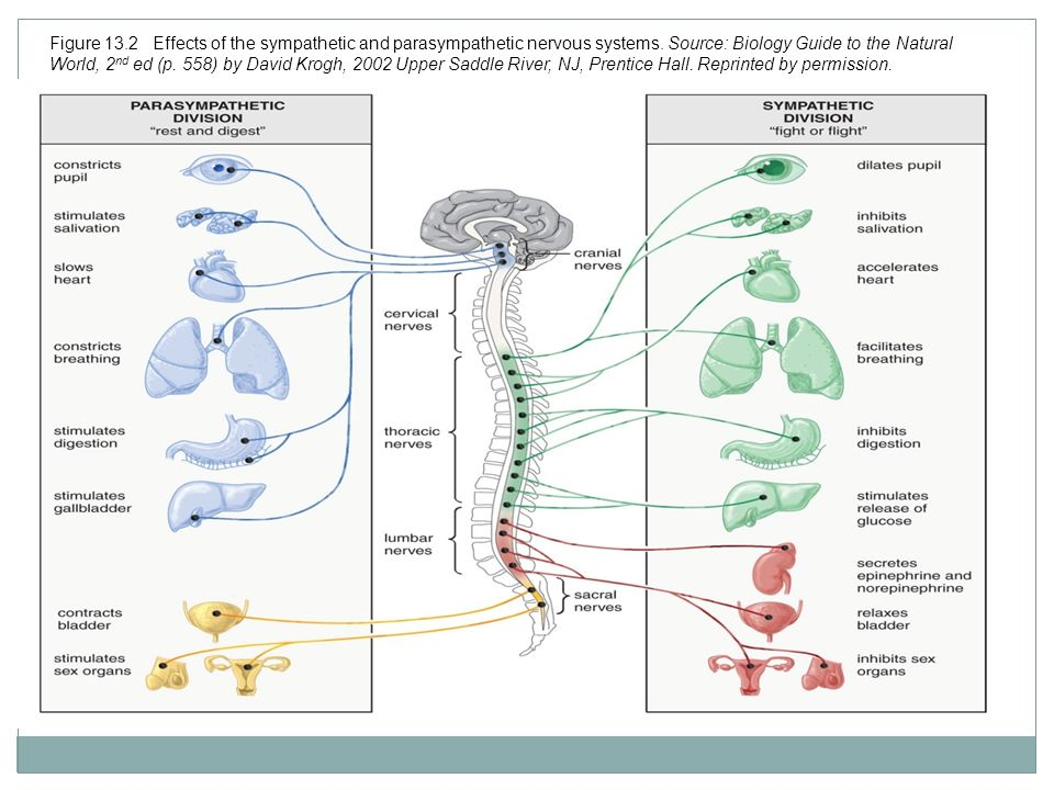 Digestive System Of A Frog Prentice Hall The Autonomic Nervous ...