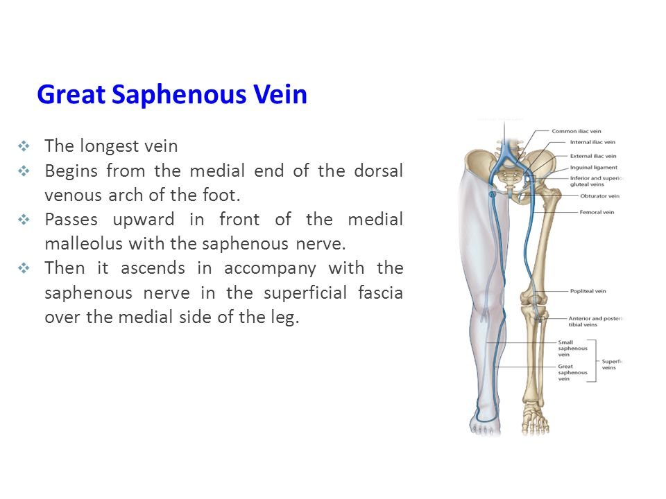 Great Saphenous Vein The longest vein
